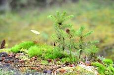little pine trees on a tree stump